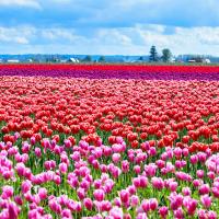 На самом деле, здесь в долине Скагит — не одно тюльпановое поле, а штук пять.