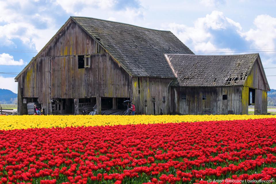 Сатрая ферма RoozenGaarde: Фестиваль тюльпанов (Skagit Valley, Mount Vernon, WA)