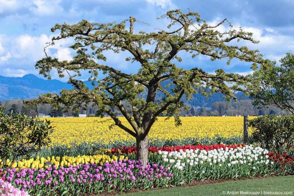 RoozenGaarde: Фестиваль тюльпанов (Skagit Valley, Mount Vernon, WA)