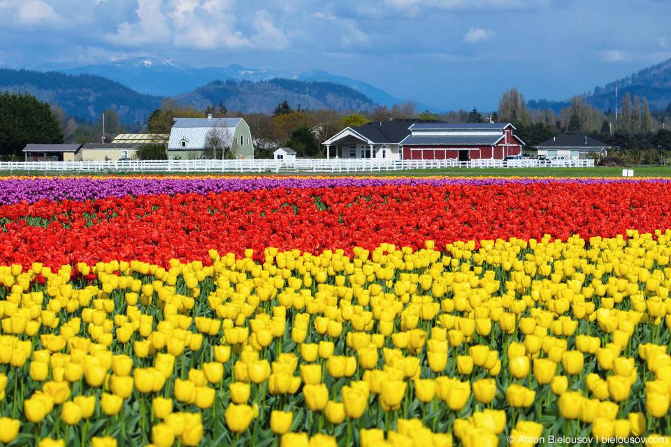 Фестиваль тюльпанов (Skagit Valley, Mount Vernon, WA)