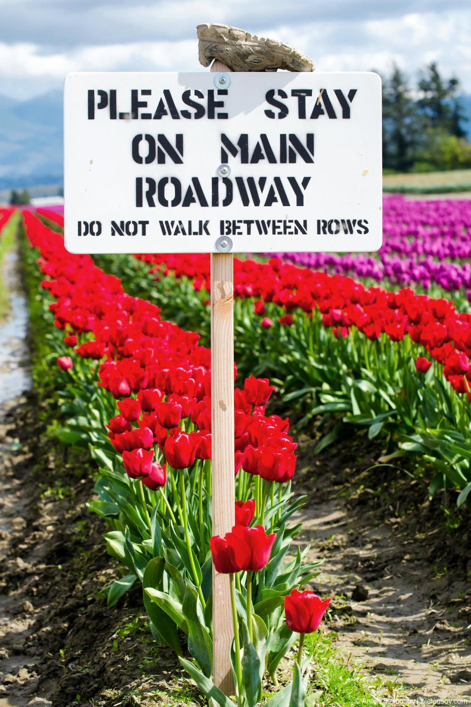 Знак «между рядами не ходить» на тюльпановых полях RoozenGaarde: Фестиваль тюльпанов (Skagit Valley, Mount Vernon, WA)