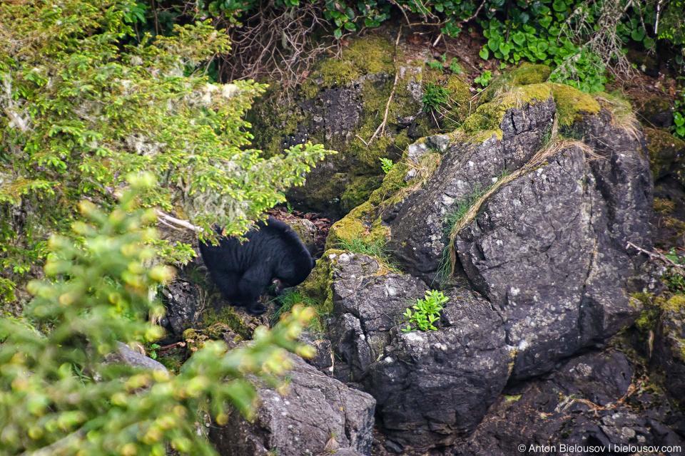 West Coast Trail Black Bear