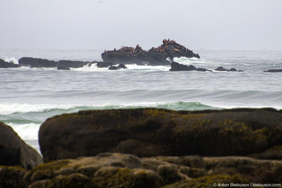 West Coast Trail Cribs Creek sea lions haul out rock