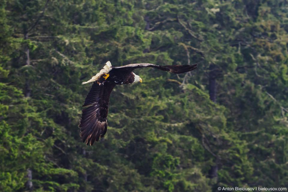 Белоголовый орлан с добычей