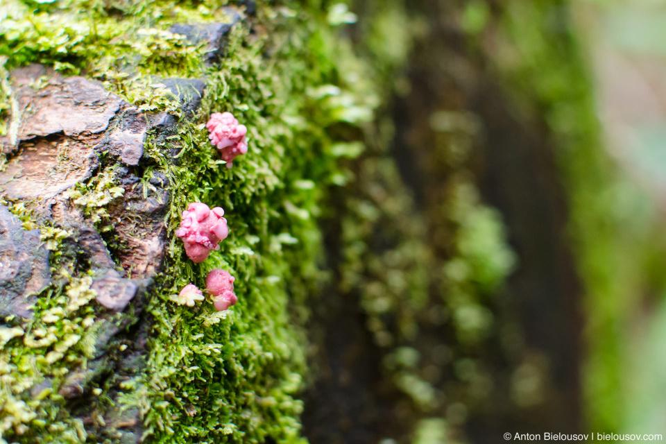 Розовые древесные грибы