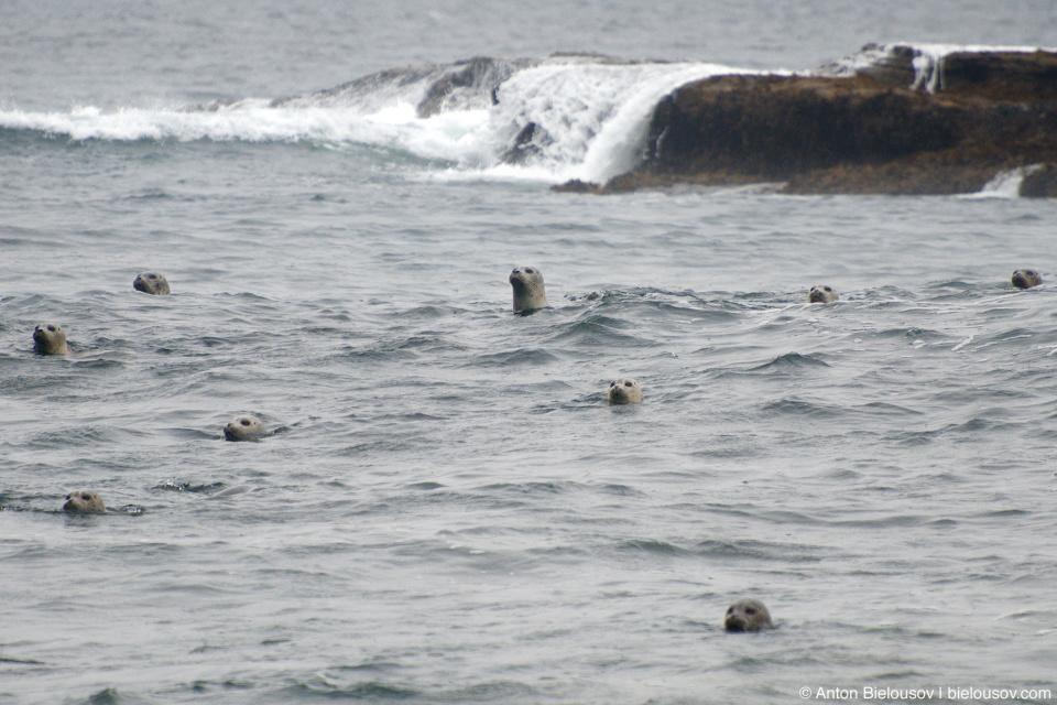 Морские львы (Owen Point, West Coast Trail)