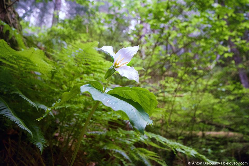 Триллиум, цветок-символ Онтарио.