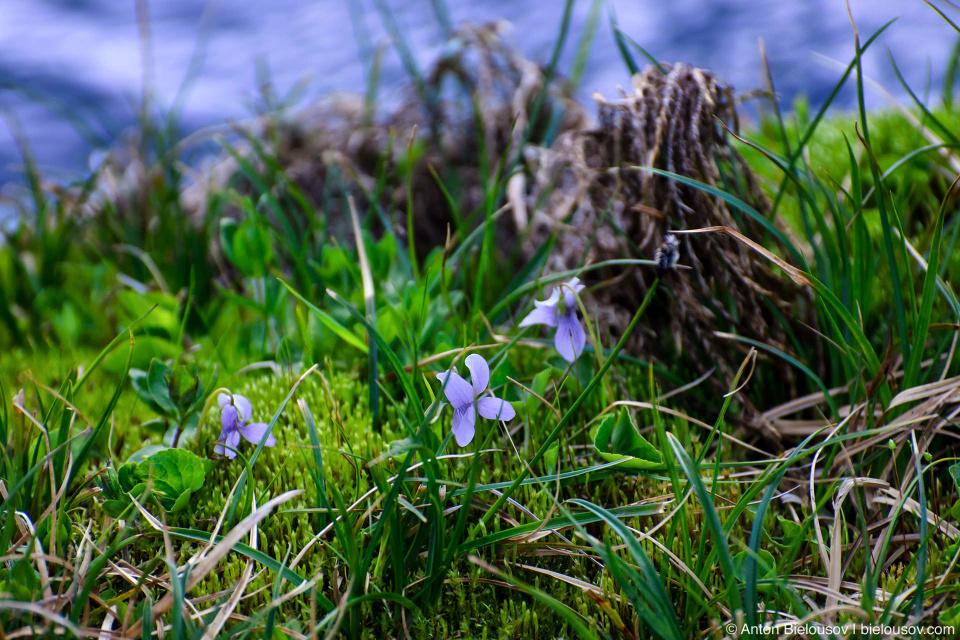 Горные фиалки (alpine violet)