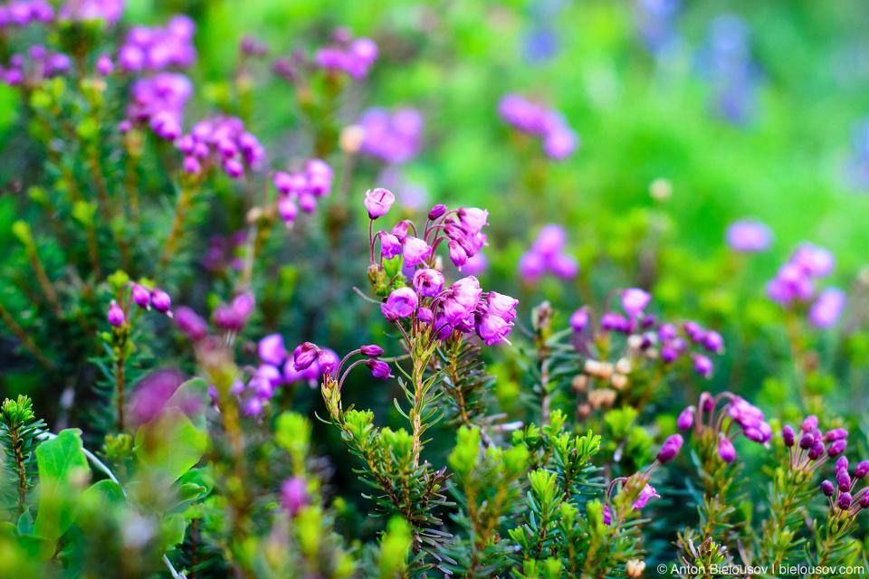 Розовый горный вереск (pink mountain heather)
