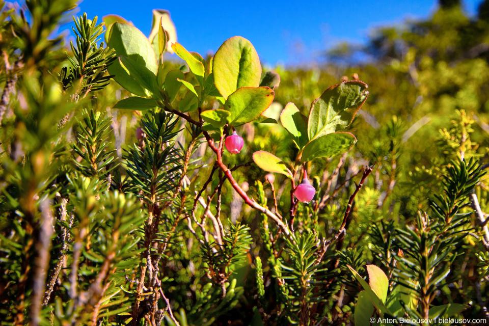 Дикая голубика (wild blueberry blossom)