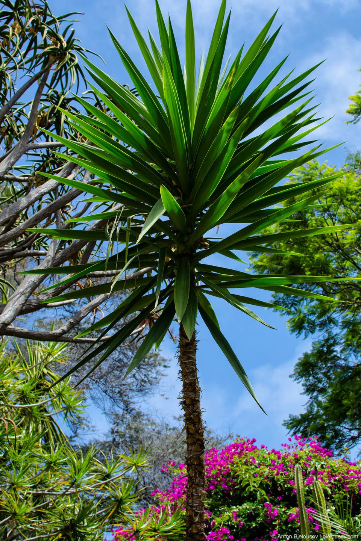 Пальма в Парке пяти религий (Self-Realization Fellowship LAKE SHRINE Meditation Gardens, Santa Monica, CA)