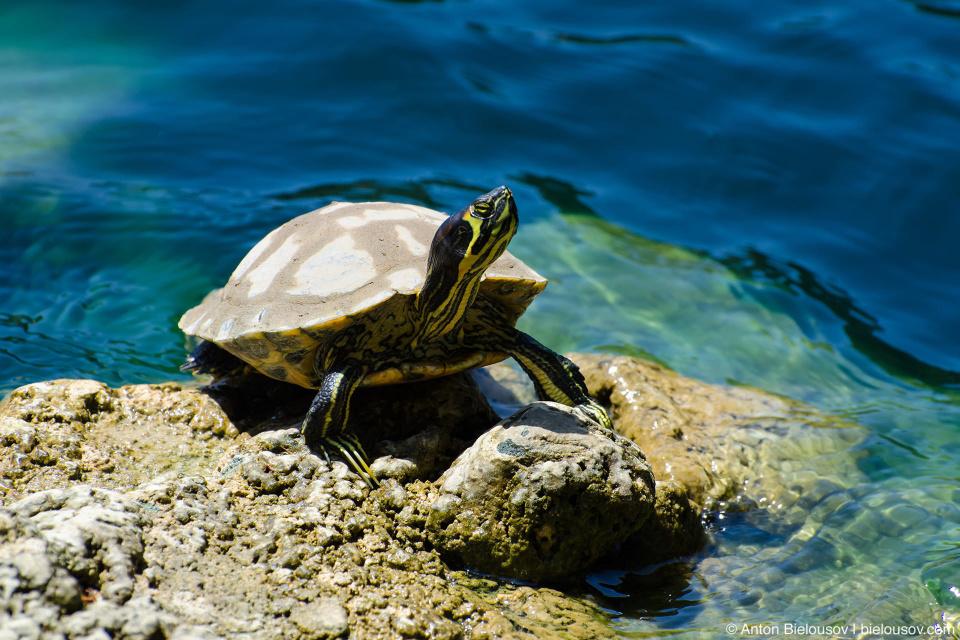 Черепаха в озере Шрайн: : Self-Realization Fellowship Lake Shrine (Santa Monica, CA)
