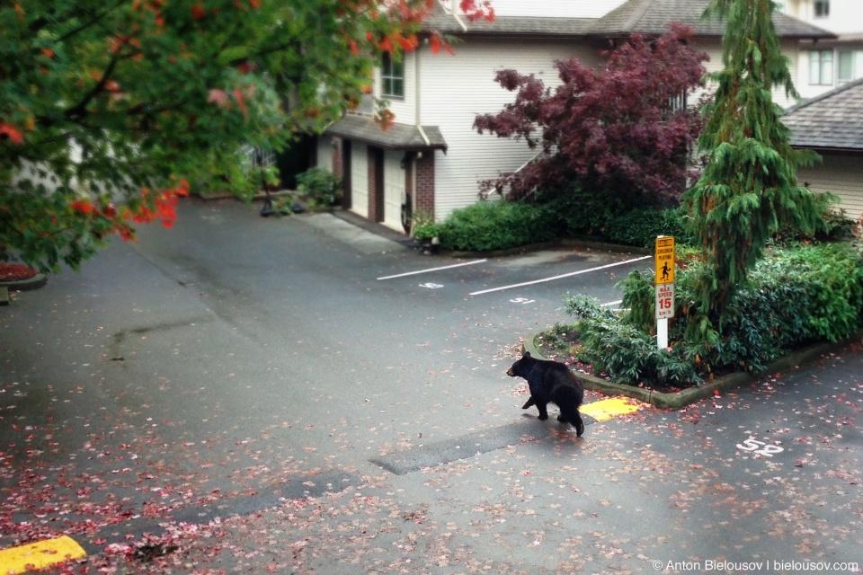 Медведь на парковке перед домом