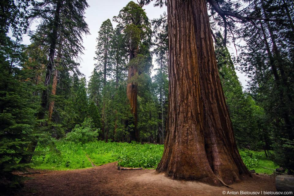 Секвойя на тропе 100 Giants, Sequoia National Park, CA
