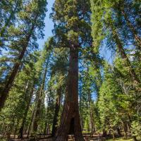 Самые большие деревья в мире.