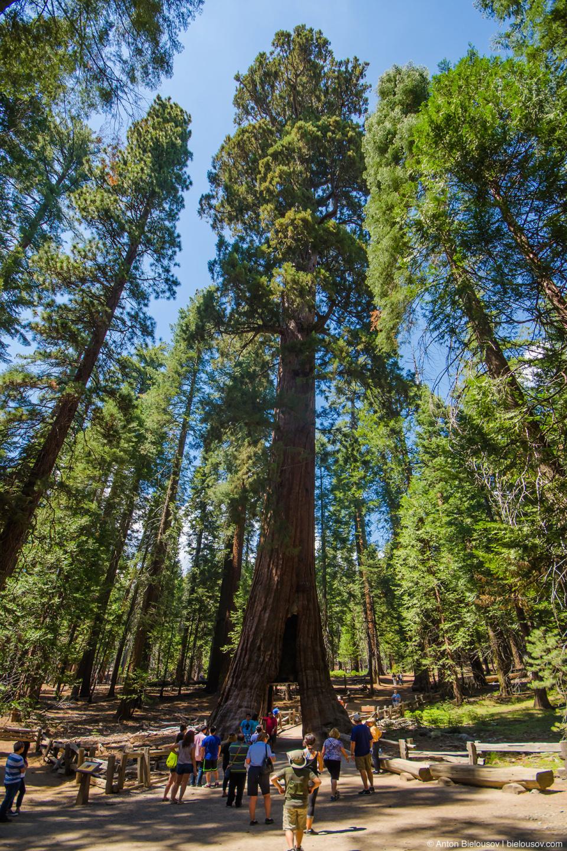 California Tunnel tree, Mariposa Grove, Yosemite National Park, CA