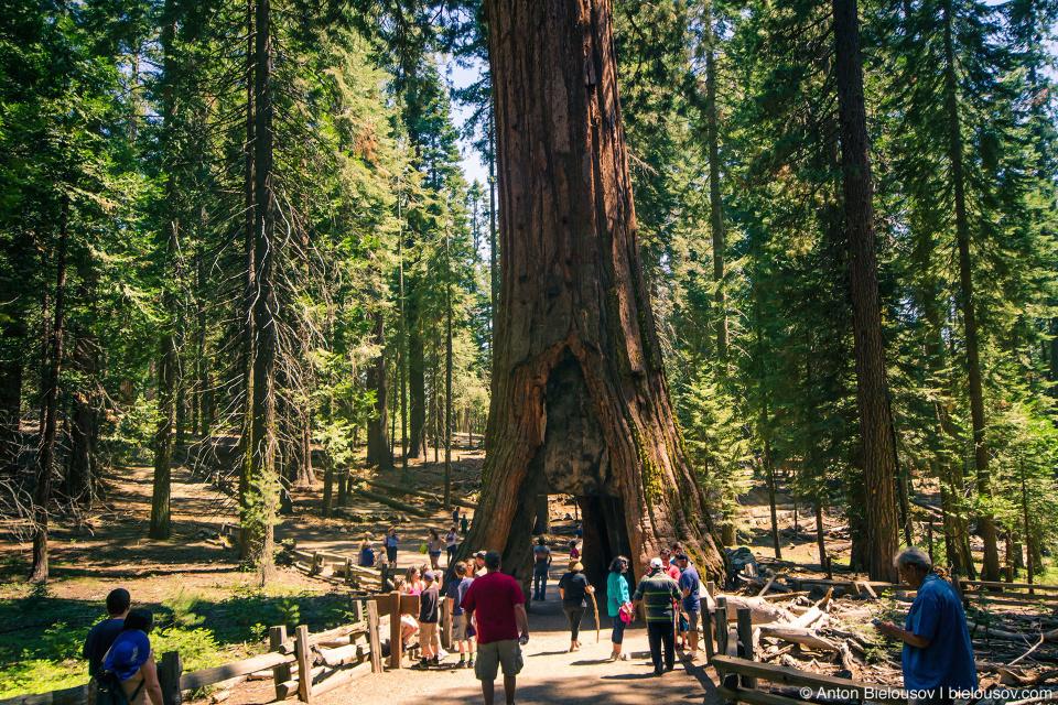 «Калифорнийский тоннель» Mariposa Grove, Yosemite National Park