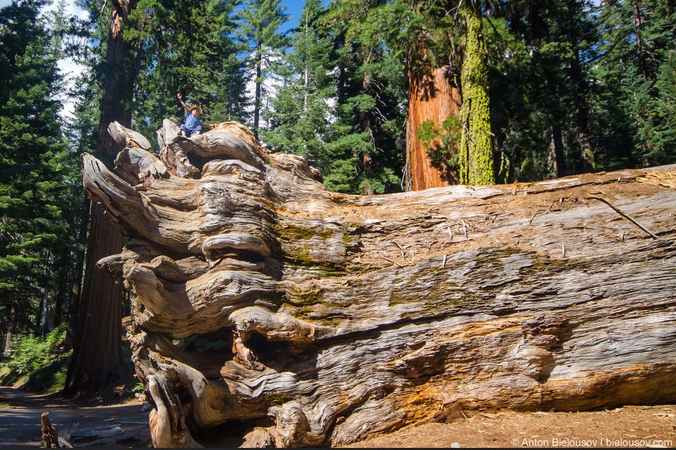 Упавшая гигансткая секвойя в роще Mariposa Grove (Yosemite National Park)