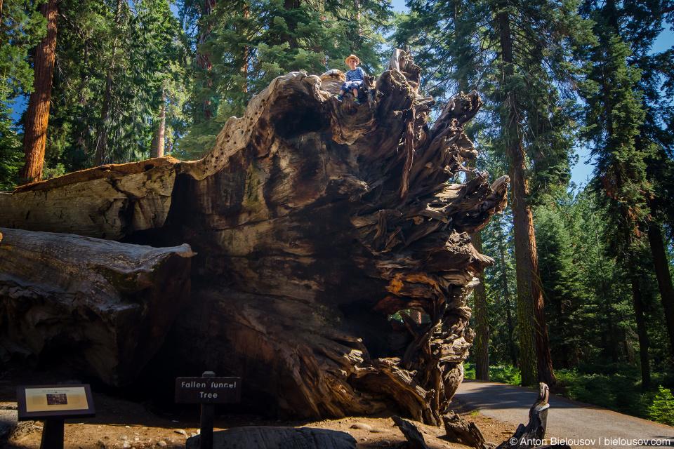 Дерево «Уавона» (Wawona) упало еще в 1965 году, но если присмотреться, на его стволе можно видеть ровный срез