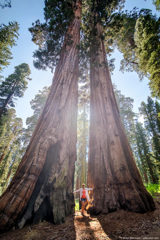 Ноги гиганта — секвойи в роще Mariposa Grove (Yosemite National Park)