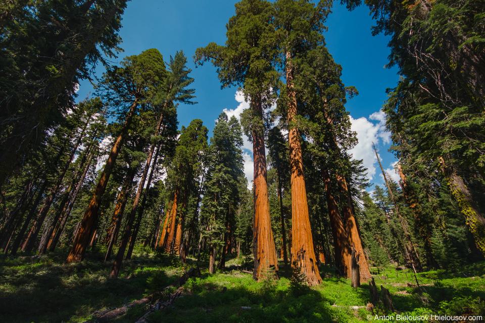Гигансткие секвойи в роще Mariposa Grove (Yosemite National Park)