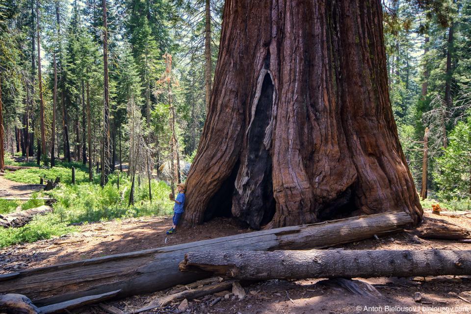 Гигансткая секвойя в роще Mariposa Grove (Yosemite National Park)