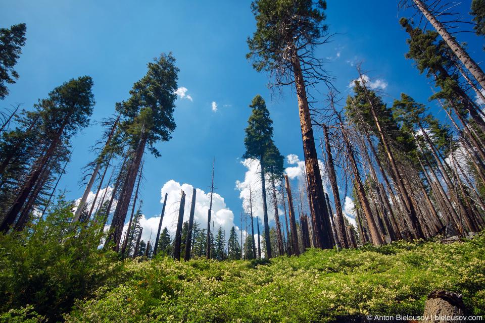 Mariposa Grove, Yosemite National Park, CA