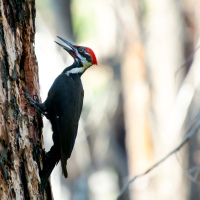 Pileated woodpecker / Хохлатая желна