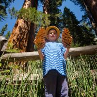 Логично предположить что у самого большого дерева — самые большие шишки.