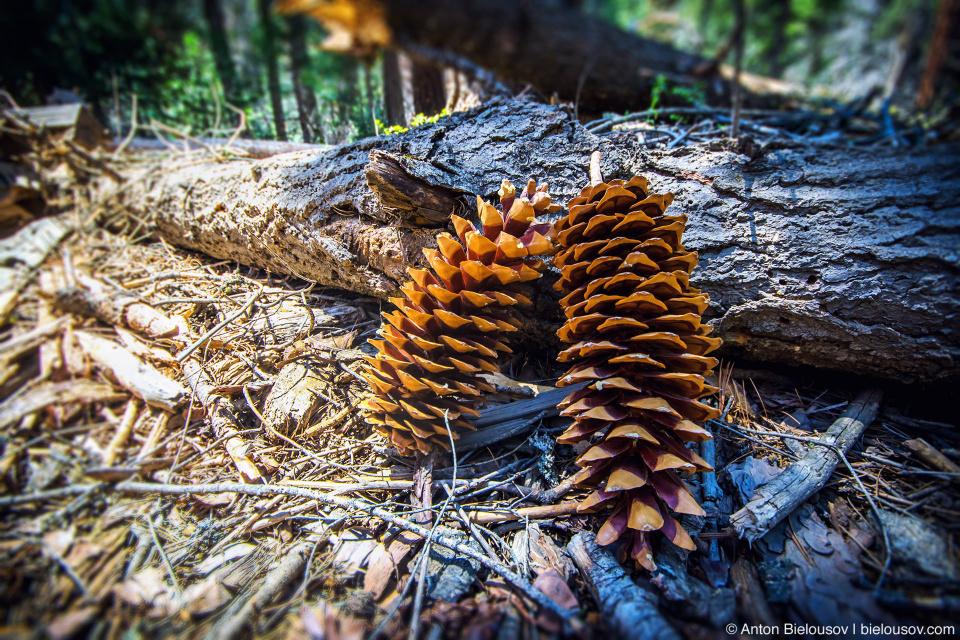 Шишки сосны Ламберта (Sugar Pine Cones)