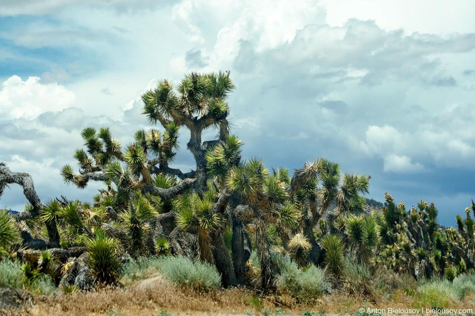 Особенно я влюбился в чудесные колючие деревья — Юкка.