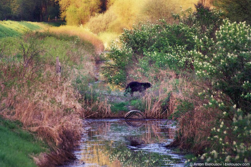 Black Bear in Colony Farms Regional Park