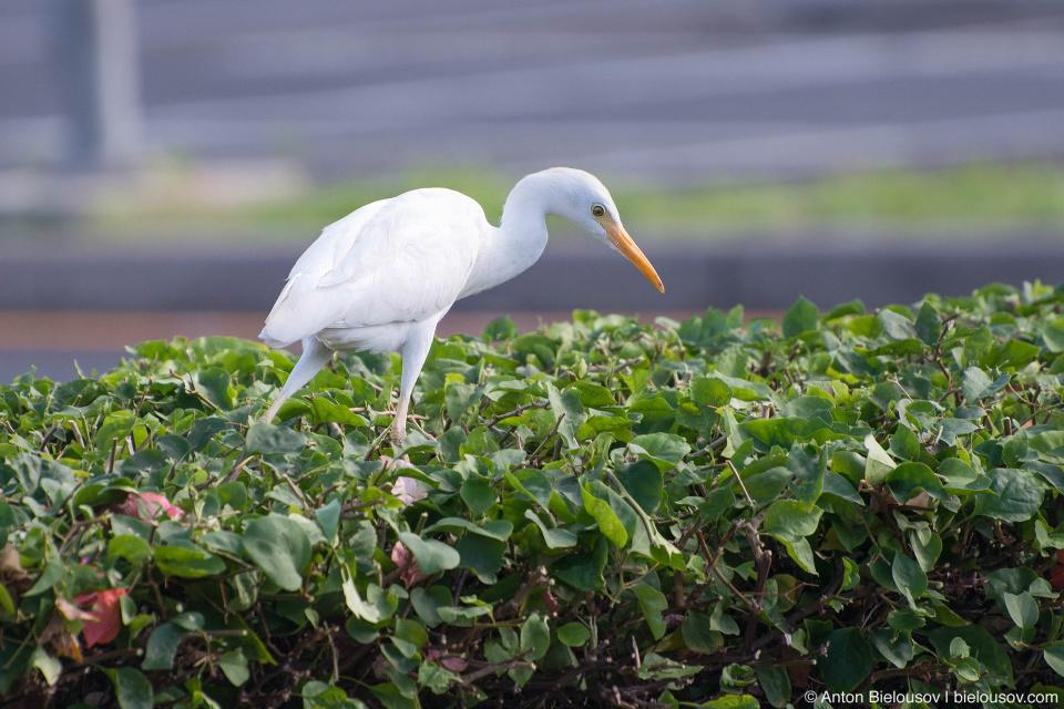 Cattle Egret (Maui, HI)
