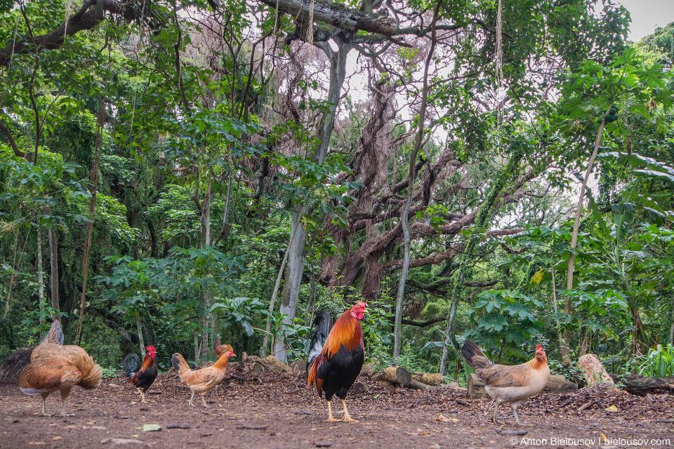 Hawaiian feral chicken at Honolua Bay Access Trail (Maui, HI)