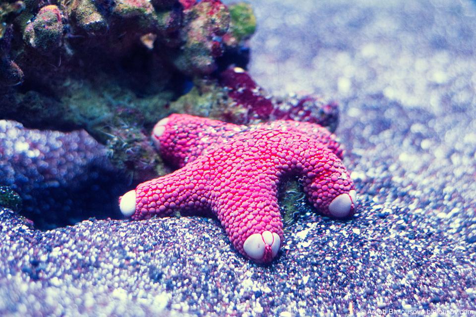 Starfish at Maui Ocean Center (Maui, HI)