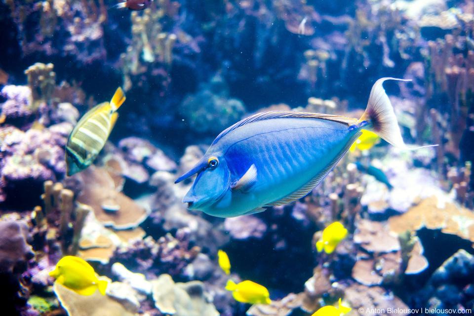 Unicorn fish at Maui Ocean Center (Maui, HI)
