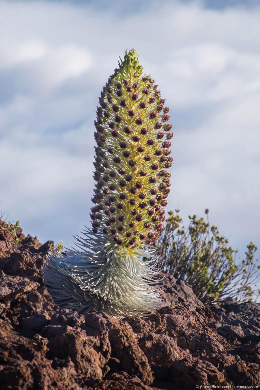 Haleakala Silversword flower (Maui, HI)