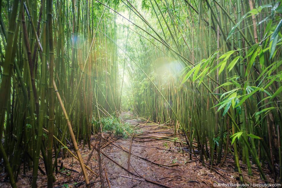 Na'ili'ili-Haele Falls trail bamboo grove (Maui, HI)