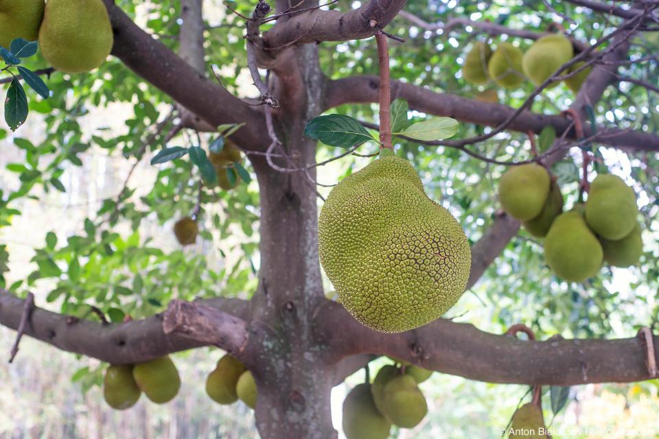 Хлебное дерево (Jackfruit)