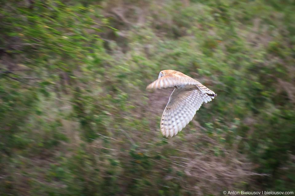 Сипуха / Tyto Owl (Maui, HI)