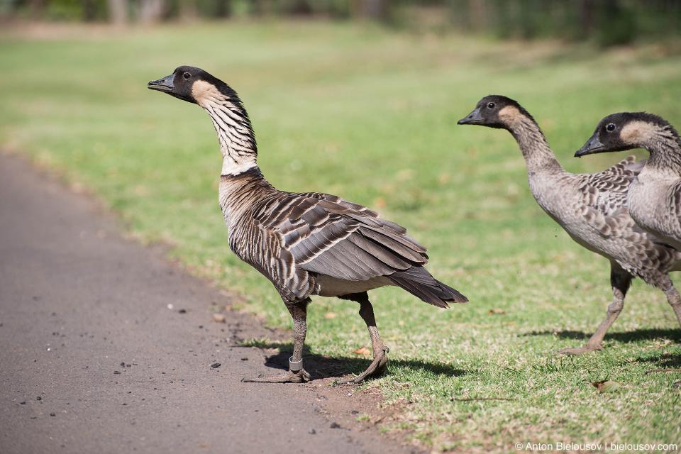 Nēnē Geese (Maui, HI)