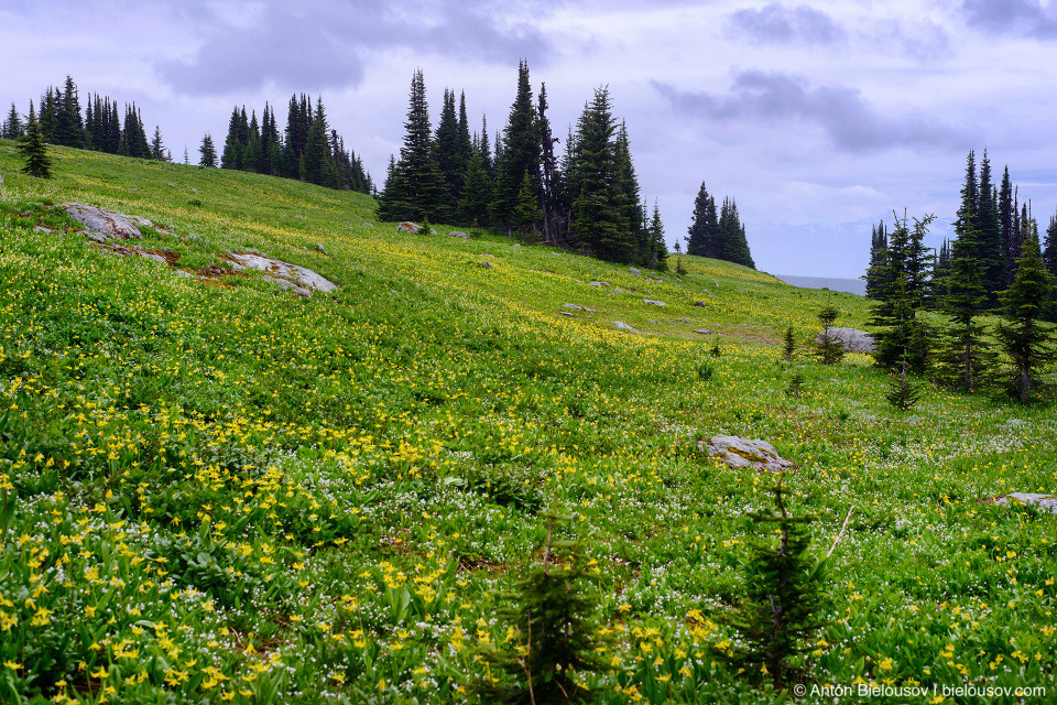 Glacier Lilies, Flower Meadows, Trophy Mountain (Wells Gray Provincial Park, BC)