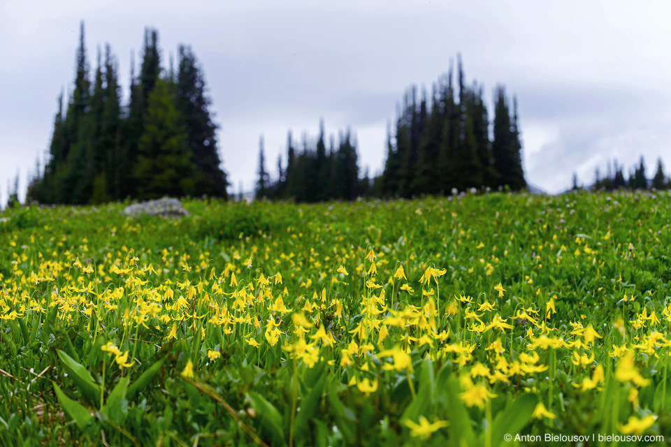Glacier Lilies Flower Meadows (Trophy Mountain, Wells Gray Provincial Park, BC)