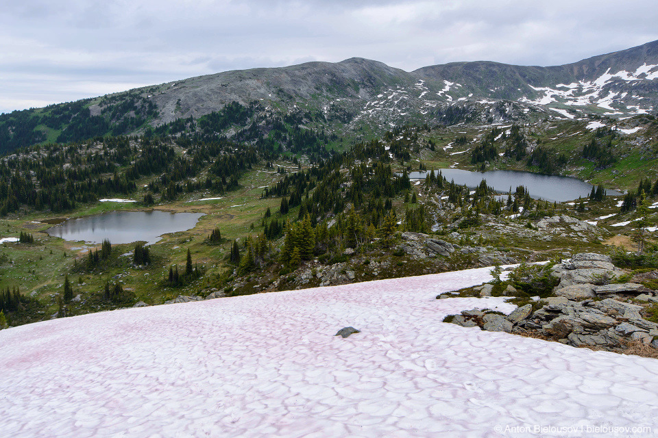 Pink snow, on Trophy Mountain, July 1 2016
