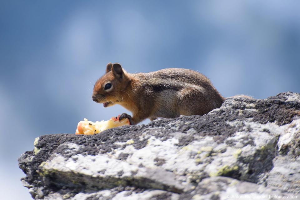 Ground Squirrel at Cheam Peak