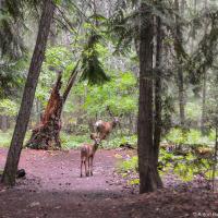 Сначала мимо палаток начинают ходить олени — у них там, оказывается, тропа проходит.