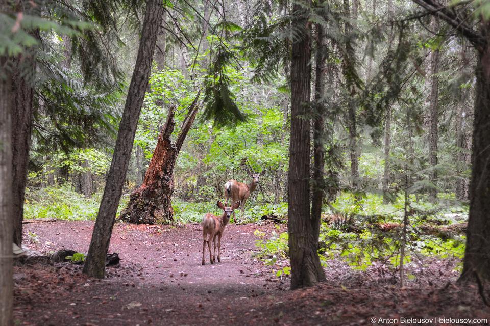 Олени на тропе Shuswap Lake Provincial Park