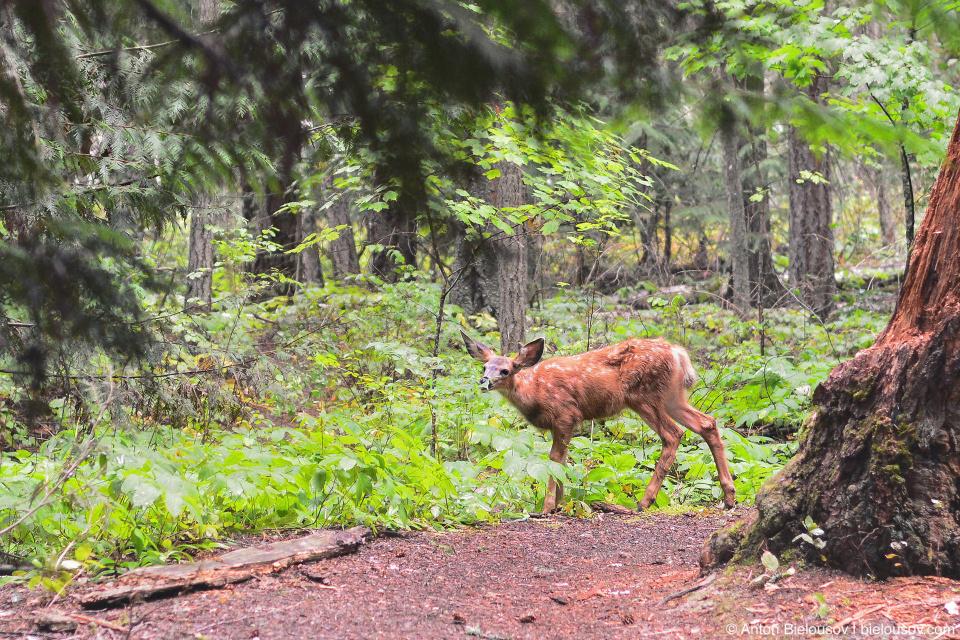 Олененок на тропе Shuswap Lake Provincial Park