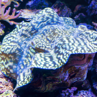 Но вот что я открыл для себя и никогда не видел прежде, так это такого вот переливающегося гигантского молюска, который может быть размером больше метра и весить более 300кг.