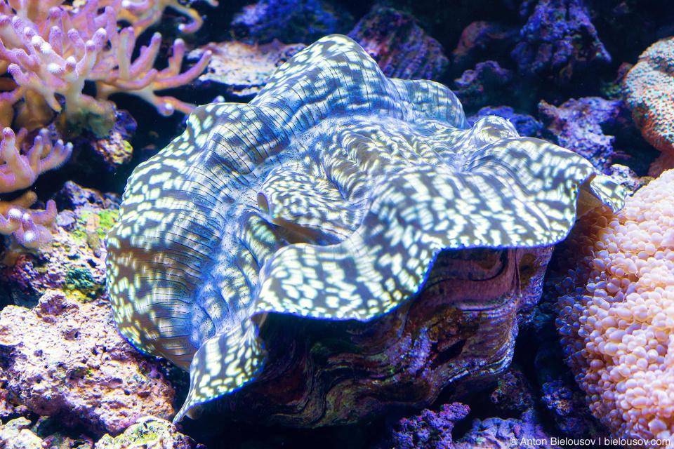 Seattle Aquarium Giant Clam
